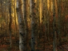 tomao_autumn-birch-web