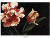 tomao_parrot-tulip-web